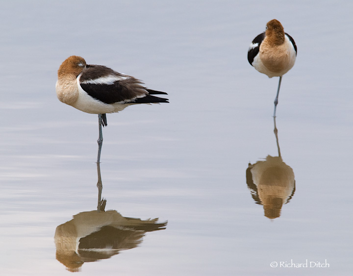 American Avocets in bad light