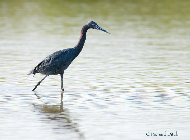 Little Blue Heron Gilbert Water Ranch