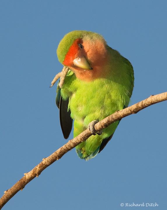 Peach-faced Lovebird - Gilbert Water Ranch