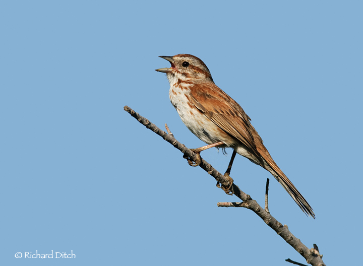 Song Sparrow singing adult