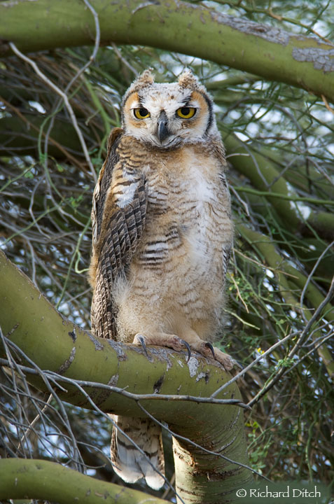 Great Horned Owl juvenile