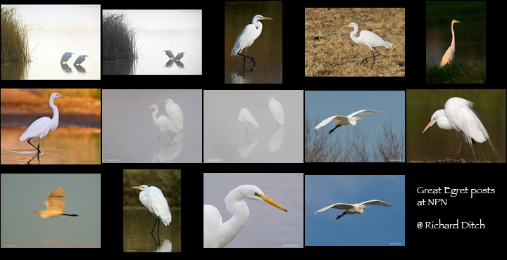 Great Egret - variety of images posted at NPN