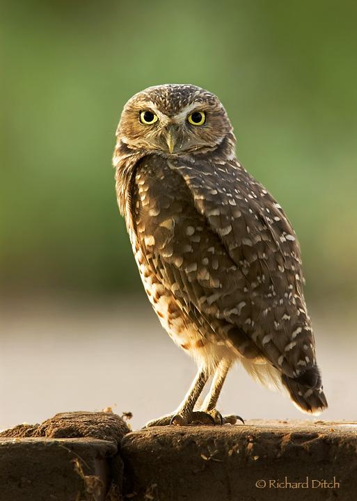 Burrowing Owl at Gilbert Water Ranch