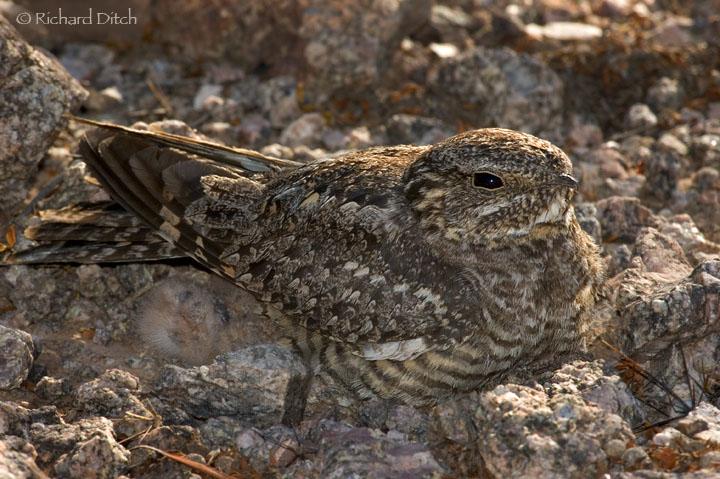 Lesser Nighthawk at Desert Botanical Gardens