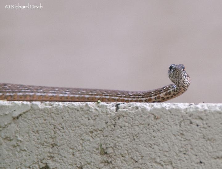 Backyard Snake #1
