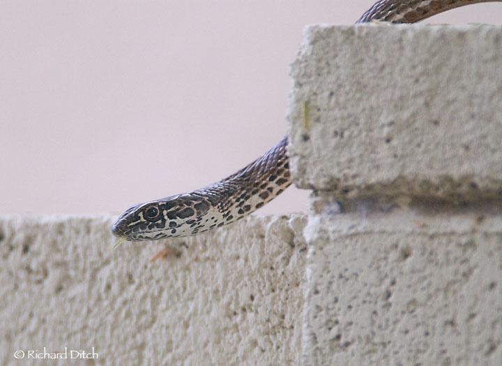 Backyard Snake #3