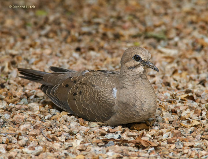 Young Mourning Dove