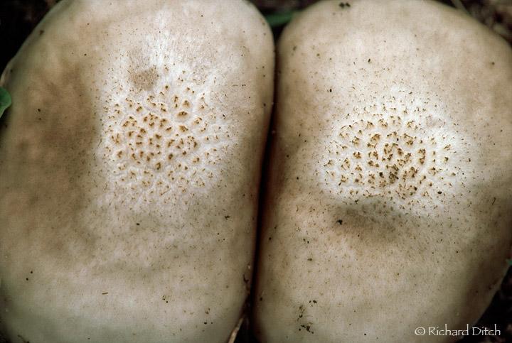 Mushroom Pair