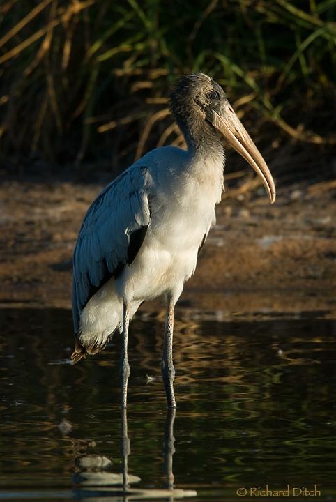 Wood Stork juvenile, Gilbert, AZ