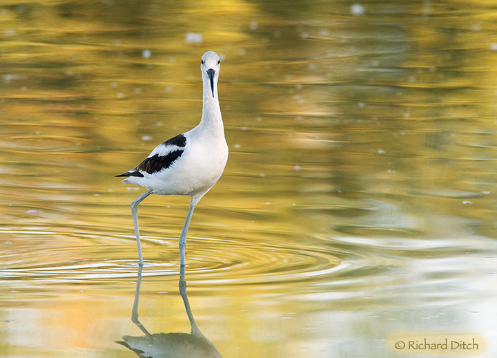 American Avocet - head on