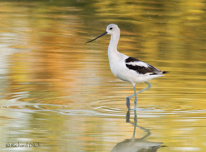 American Avocet - side view