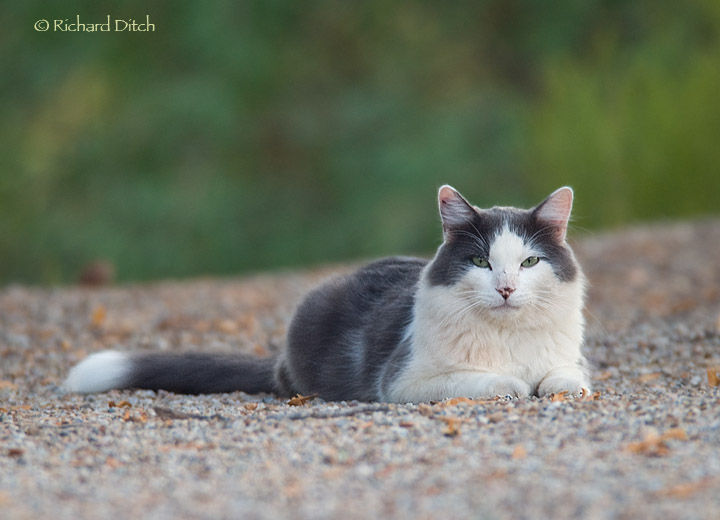 Feral Cat at Gilbert Water Ranch