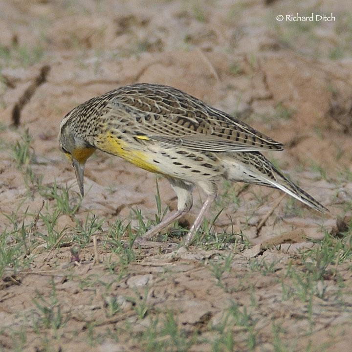 Meadowlark 126