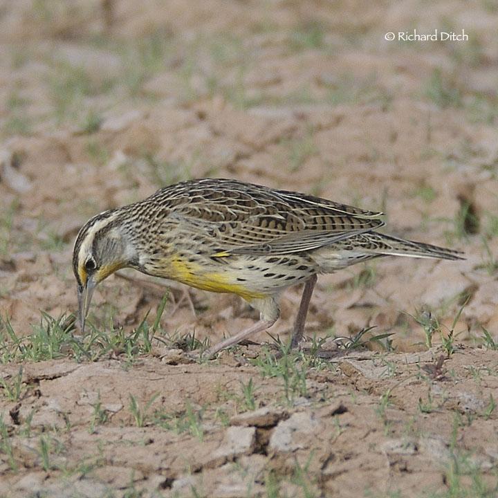 Meadowlark 133