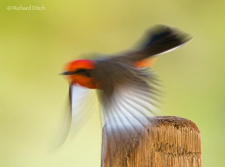 Vermilion Flycatcher blurred departure