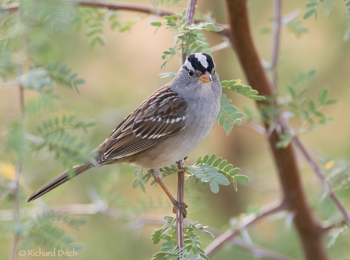 http://richditch.files.wordpress.com/2009/10/white-crowned-sparrow-388a-720.jpg?w=720&h=535