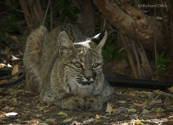 Bobcat at Boyce Thompson Arboretum