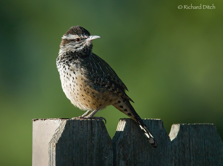 Cactus Wren on BTA Fence