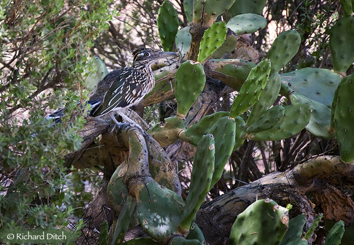 Greater Roadrunner in cactus