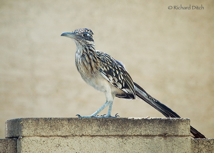 Greater Roadrunner on wall