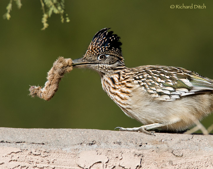 Greater Roadrunner with rabbit's foot