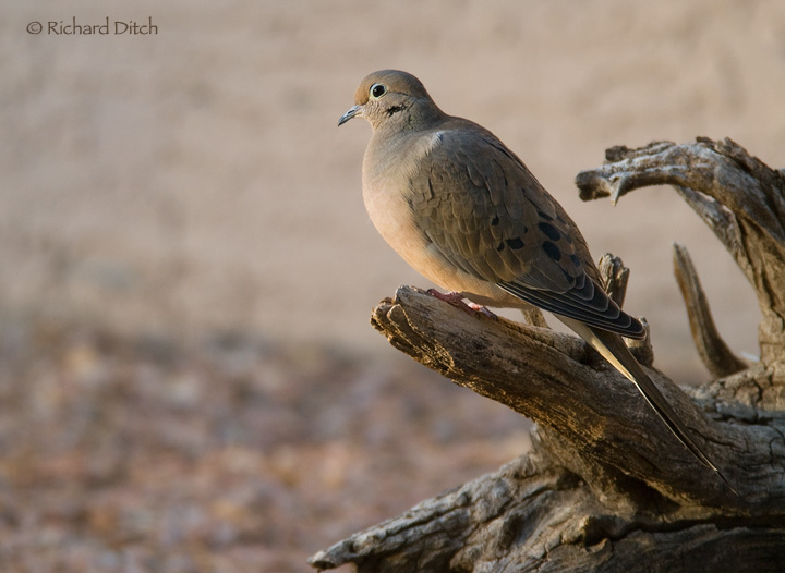 Mourning Dove in late day light