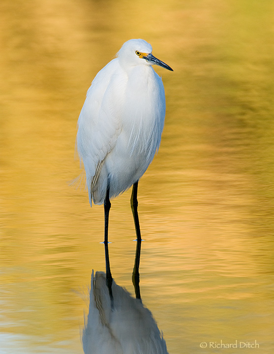 Snowy Egret on yellow water