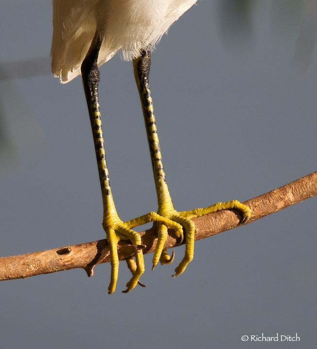 Snowy Egret feet and legs