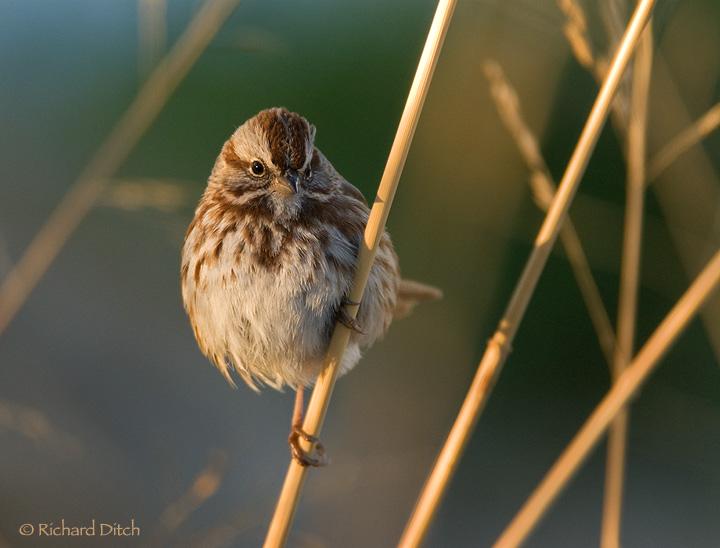 Song Sparrow 147