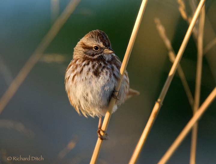 Song Sparrow 149