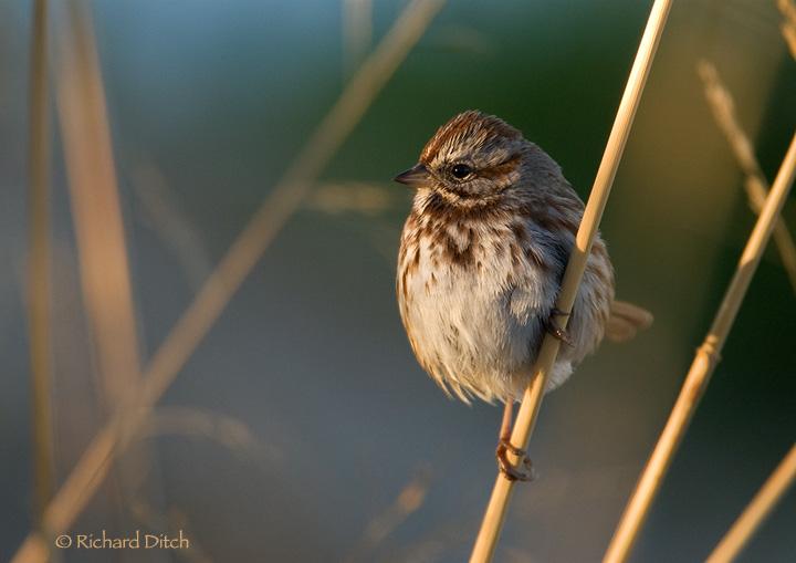 Song Sparrow 153