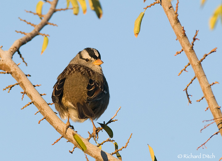 White-crowned Sparrow C