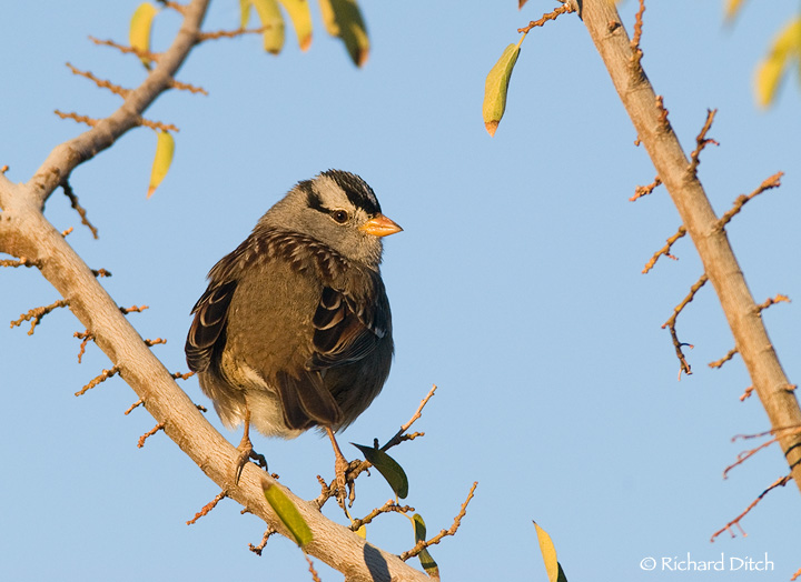 White-crowned Sparrow A