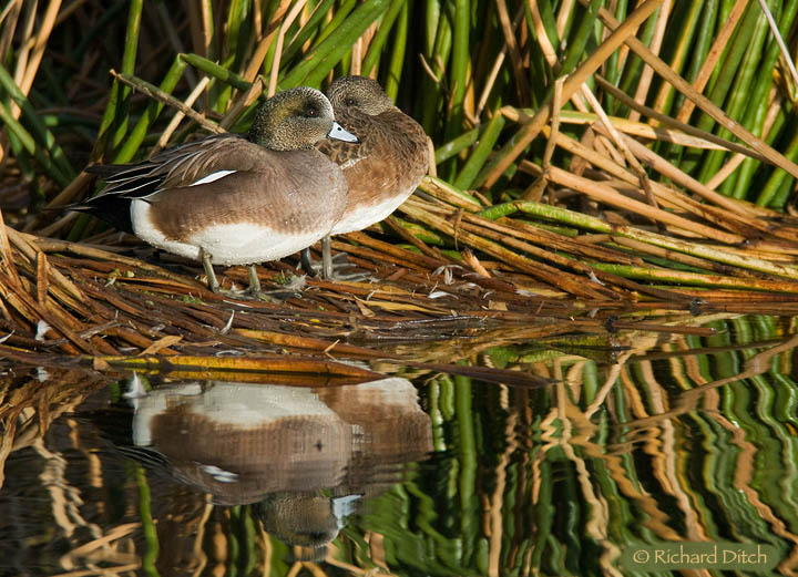American Wigeon pair at rest