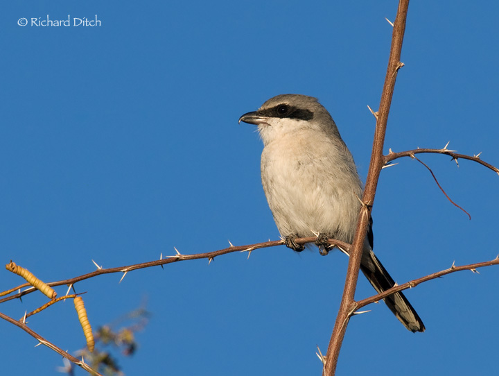 Loggerhead Shrike on thorny branch