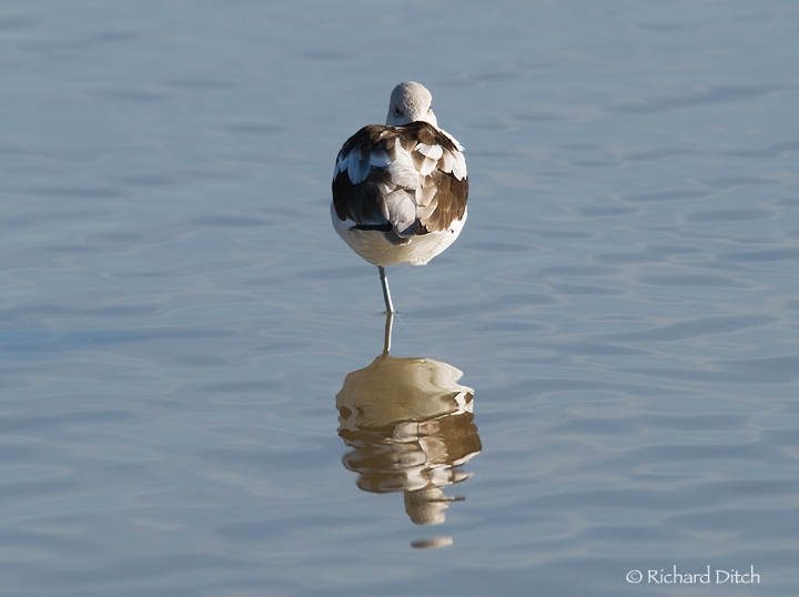 American Avocet on patterned water