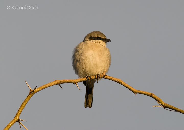 Loggerhead Shrike on thorny perch