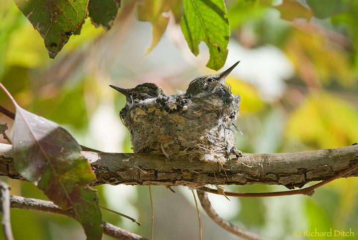 Anna S Hummingbird Nest Rich Ditch S Photography Blog