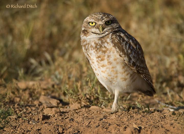 Burrowing Owl in better light