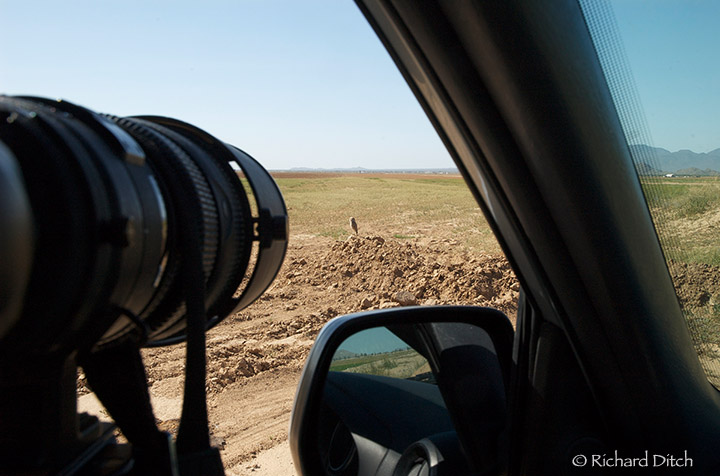 Burrowing Owl from car window