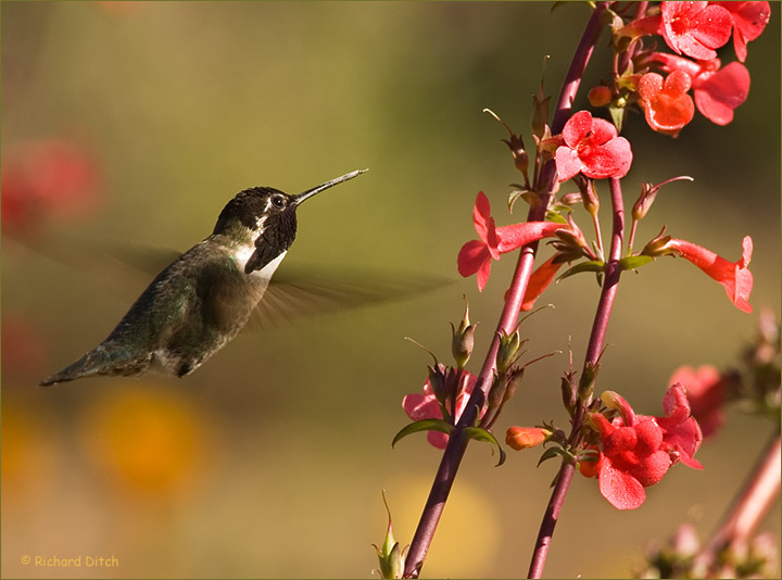 Costa's Hummingbird at flowers
