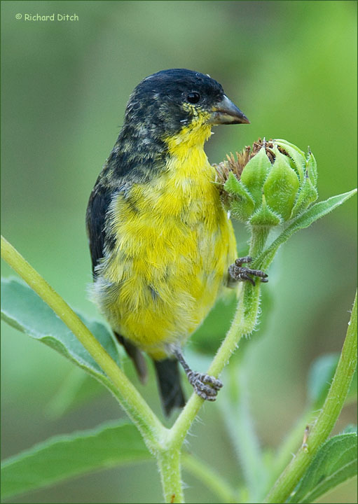 Lesser Goldfinch male, dark form