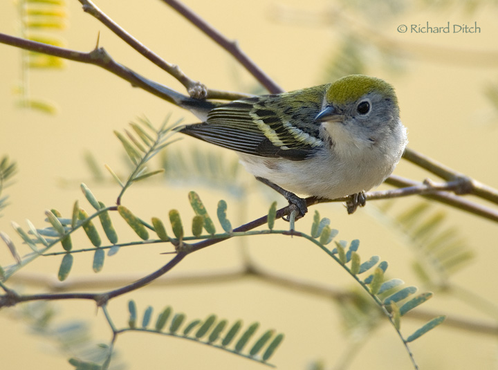 Chestnut-sided Warbler - AZ Vagrant
