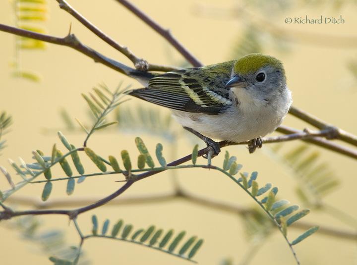 Chestnut-sided Warbler - AZ Vagrant