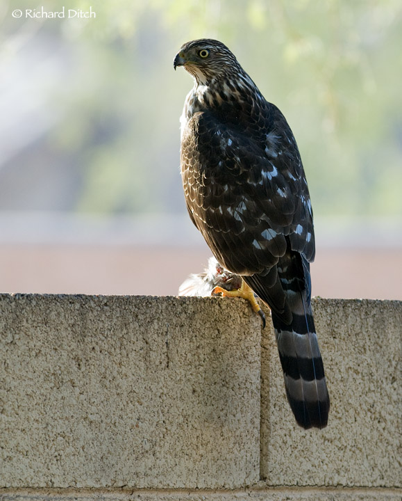 Another Backyard Cooper?s Hawk  Rich Ditchs Photography Blog