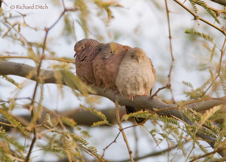Three Doves