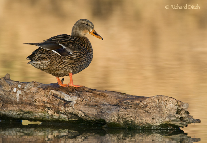 Mallard on a log