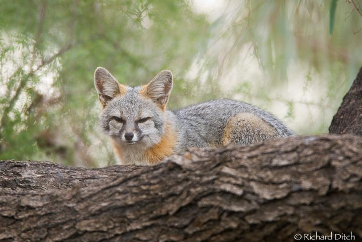 Gray Fox in tree