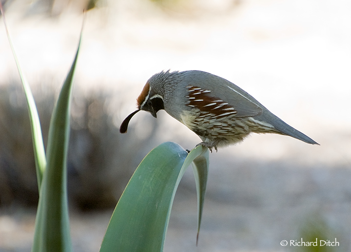 Gambel's Quail on agave