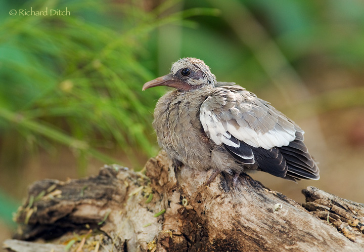 RichS Backyard Birds : Whitewinged Dove fledgling